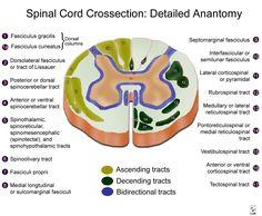 anterolateral pathway in syringomyelia - Google Search