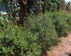 Myrtle BUSH/ Myrtus communis/ Mature Size: 5' h x 4' w/ Flower Color: white/ Sun: full sun, partial sun/ Flower Season: spring/ Water: moderate/ Growth Rate: moderate/ Form: upright, dense/ Evergreen? evergreen/ Hardiness: 11-20° F/ Litter: low/ Other Features: Fragrant flowers and foliage. Leaves yellow if plant is overwatered.