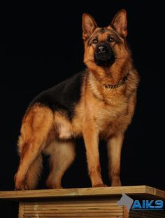 yes I am a perfect GSD now lets get to work where is my family to protect www.capemaydogs.com