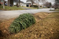 Learn how to recycle your Christmas tree when the holidays have all wrapped up, including making it into mulch, compost, or plant supports. Christmas Tree Storage, Fresh Christmas Trees, Old Christmas, After Christmas, Christmas Ideas, Ways To Recycle, Reuse, Repurpose, Tree Mulch