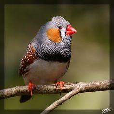 finch birds | Photo Information