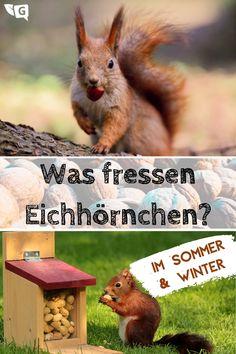 Eichhörnchen sieht man vermehrt in Parks großer Städte und in Wohnsiedlungen. Schuld daran sind die Menschen, die ihnen den Wohnraum streitig machen. Dadurch finden die Nagetiere auch immer weniger Futter. Sie können Abhilfe schaffen, indem Sie den Eichhörnchen Fressen geben. Welche Nahrung sie im Sommer und Winter bevorzugen, erfahren sie auf gartendialog.de. #eichhoernchen #fressen #futter #nagetiere #tiere #squirrel #nager #nuts #nuesse #wald #nahrung #sommer #winter #garten… Squirrel, Kangaroo, Kindergarten, Cute Animals, Home And Garden, Woodworking, Pets, Life, Gardens