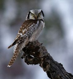 What a beauty! More photos and information about the Northern Hawk Owl here --> http://owlpag.es/nhow