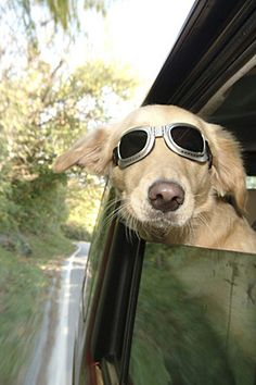 Dogs of almost all types.  :)   I need to get my fur baby some of these goggles.  :D