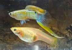 Swordtail Guppies: When Does Maintaining A Strain Become Redundant? By Alan S Bias