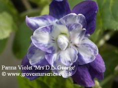 Mrs David Lloyd George Violet.  (Kettle 1915) RHS Award of Merit 1918    A pretty and rare violet originating from Corfe Mullen in Dorset, so is sometimes known as the Dorset Violet. A Semi double blue flower with a centre rosette of white, sometimes tinged with pink. Long stems and scented.