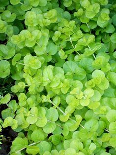 Golden creeping Jenny -   'Aurea' is a fast-growing groundcover for shade or partial shade. It bears round chartreuse foliage and grows 2 inches tall. It can spread indefinitely. Zones 4-8  view >