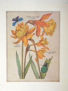 Narcissus Daffodils Art Print Botanical by SoCalGalMercantile, $12.00