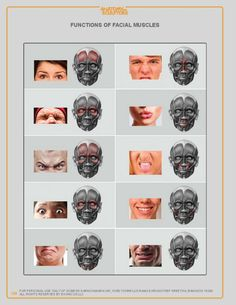 Anatomy Next provides anatomy learning tools for students and teachers Face Muscles Anatomy, Neck Muscle Anatomy, Muscles Of Facial Expression, Head Muscles, Facial Expressions Drawing, Muscles Of The Face, Human Anatomy Art, Head Anatomy, Anatomy Poses