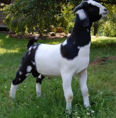 showing meat goats tips - Google Search