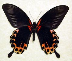 http://www.etsy.com/listing/98856847/giant-tequila-sunrise-swallowtail?ref=shop_home_active