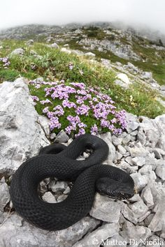 Black European adder in its alpine habitat