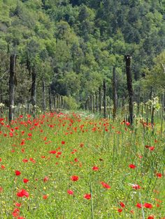 Poppy in the fild, befoure floweing the leafs are excellent in our salad