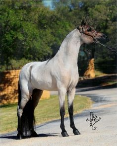"His name is ""Find Your Destiny Rumor Has It""! Bay Roan in color. 33.5"" height. AMHA registered."