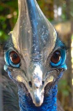 """Southern Cassowary (Casuarius casuarius) by Agustin David Dominguez Medina. """"Michele Lyons What a beautiful thing to see right before you die. Kinds Of Birds, Love Birds, Beautiful Birds, Weird Birds, Cassowary Bird, Scary Animals, Ostriches, Flightless Bird, Super Cute Animals"""