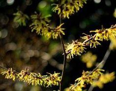 El género Hamamelis está compuesto por cuatro especies de plantas con flores de la familia Hamamelidaceae, con dos especies en Norteamérica, una más en Japón y otra especie en China. Su nombre científico es Hamamelis viginiana L. Y también suele llamarse comunmente: hamamelis de Virginia y amamelide. Virginia, Dandelion, China, Flowers, Plants, Flowering Plants, Shrubs, Dandelions, Plant