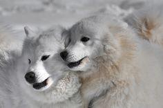 Zwei aus Kandersteg Polar Bear, Husky, Board, Animals, Photos, Animales, Animaux, Animal Memes, Husky Dog