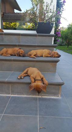 Rhodesian Ridgeback Huge Dogs, I Love Dogs, Cute Puppies, Dogs And Puppies, Rhodesian Ridgeback Puppies, Homemade Stuffed Animals, Lion Dog, Crazy Dog Lady, Dog Names