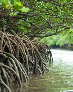 Where mangrove crabs hide ~ Fukidou River, Ishigaki Island, one of the Yaeyama Islands, Japan