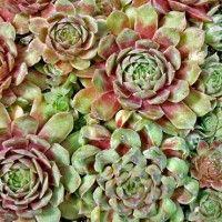 Sempervivum Cultivar - Fame Monstrose