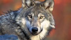 There were 175 wolf attacks on livestock in the fiscal year according to Idaho Department of Fish and Game. Wolf Population, Evolutionary Biology, Parks Canada, Wild Wolf, Hunting Season, Lone Wolf, Endangered Species, Livestock, Montana