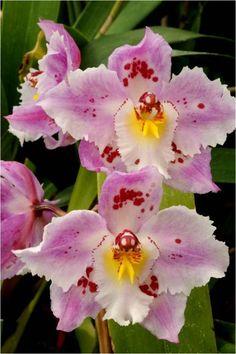 odontoglossum Orquídea.