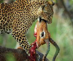 Tutlwa female leopard with its Impala kill ! by Anthony Goldman - Animals Lions, Tigers & Big Cats ( big cat, wild, predator, impala, tree, south africa, kill, londolozi, leopard,  )