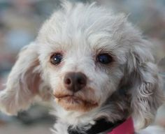 Layla is an adoptable Poodle searching for a forever family near Colorado Springs, CO. Use Petfinder to find adoptable pets in your area.