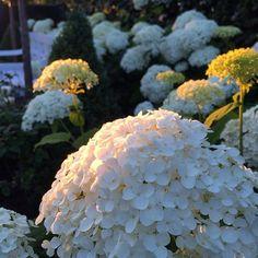 Evening light white garden #instagardenlovers #garden #hage #trädgård #haven #garten #tuin #jardin #hydrangea #annabelle