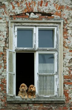 pareja en la ventana. A pair of dogs.....