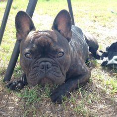 I promise I'm not eating grass.. #frenchbulldog #frenchie #instafrenchie #frenchielove #petsagram #frenchiesagram #frenchiebullys#puppy #ilovemyfrenchie #frenchbullys #squishyfacecrew #frenchiesociety #dogsofgeelong #grass #gardener #summer #justhelping by basilthefrenchie