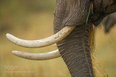 IVORY ON ELEPHANTS by JacoMarx via http://ift.tt/2fnF6dX