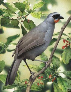 Extinct Birds, Extinct Animals, Rare Animals, Kiwiana, Bird Illustration, Bird Pictures, South Island, Wildlife Art, Bird Art