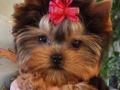 Yorkshire Terrier Puppies, Yorkie Puppies, Yorkshire Terrier Breeders, Top Quality Yorkie Puppies in Phoenix, Best Yorkie breeder in Arizona, Chocolate Yorkies