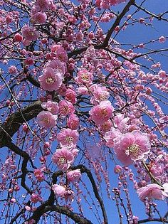 Plum Blossoms in Nagoya Agriculture Center, Japan 名古屋市農業センター しだれ梅 Nothing But Flowers, What A Beautiful World, Garden Of Eden, Nagoya, Four Seasons, Amazing Places, Agriculture, Spring Time, Blossoms
