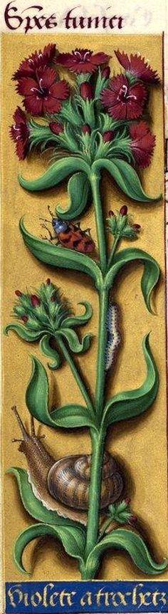 Violete a trochetz - Species tunici (Dianthus barbatus L. = œillet de poète) -- Grandes Heures d'Anne de Bretagne, BNF, Ms Latin 9474, 1503-1508, f°43v