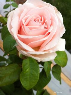 ~Francis Meilland Hybrid Tea Rose  'Welcome Summer'