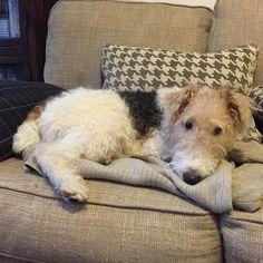 Fox Terriers, Wire Fox Terrier, Mans Best Friend, Best Friends, Duffy, Beautiful Dogs, I Love Dogs, Corgi, Cute Animals