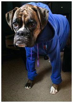 boxer in a jumpsuit http://www.facebook.com/mydailyboxer #boxer