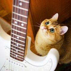 I want to play the guitar, oh please... #love #instagood #cute #beautiful #cat #cats #catsofinstagram #instacat #catstagram #scottishstraight #catlover #catoftheday #ilovemycat #ねこ #猫 #gato #gatto #고양이 #katze #кот #kedi #kitty #kitten #pet #animal #neko #chat