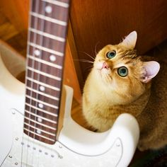 I want to play the guitar, oh please... #love #instagood #cute #beautiful #cat #cats #catsofinstagram #instacat #catstagram #scottishstraight #catlover #catoftheday #ilovemycat #ねこ #猫 #gato #gatto #고양이 #katze #кот #kedi #kitty #kitten #pet #animal #neko #chat