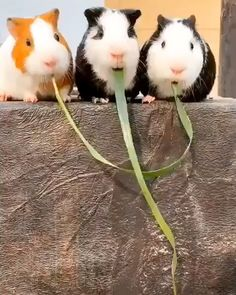 Guinea pigs find out they were eating the same piece of grass On - Happy Tiere Cute Little Animals, Cute Funny Animals, Funny Cute, Cute Cats, Adorable Baby Animals, Animal Jokes, Funny Animal Memes, Funny Animal Pictures, Funny Pet Videos