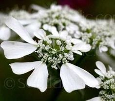 Orlaya grandiflora displays lovely, pure white flowers that form in large, flat-topped clusters.