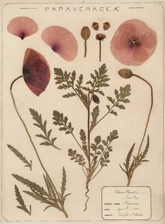 Herbarium specimen of common poppy, Papaver rhoeas, collected 1895 by Frances Giles, a pharmacist, near Folkestone, Kent.