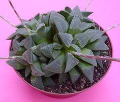 Haworthia pygmaea (2016) in 12,5 cm pot