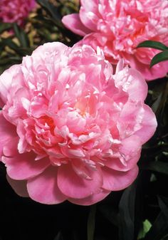 Peony Meaning, Bee Friendly, Happy Marriage, Exotic Flowers, Pink Peonies, Spring Flowers, Shrubs, Roots, Flora