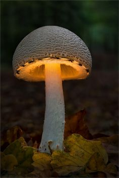 luna-s0ul:    arousedwoman:    Mushroom lit from within… ~ trish  * ArousedWomanBlog.com *    Beautiful :)