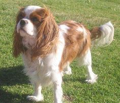 """Cavalier King Charles Spaniel - best little dogs ever!  They're little dogs that carry themselves in a """"big""""/royal way - not yippy.  :)  We had our sweet Taffy - I just may have to adopt a rescue someday."""
