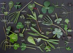 Oxalis leaves. http://www.pacificbulbsociety.org/pbswiki/index.php/oxalis