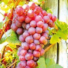 PS55.58.8 Pflanzen - Obstpflanzen - Kern- und Steinobst - Weintraube Vanessa